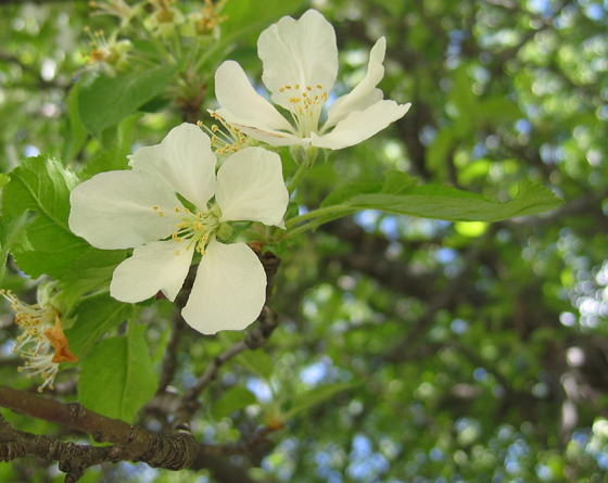 Close-up of Apple Blossoms