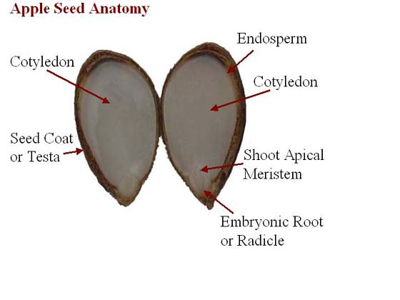 Apple Seed Anatomy