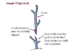 Click on picture of whip graft.